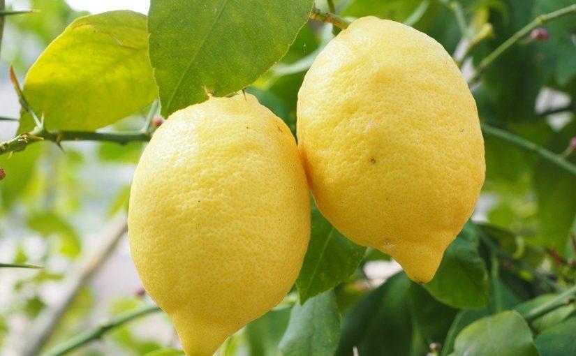 国産レモンの産地と時期は?レモン皮の砂糖煮!シロップ、塩レモンも