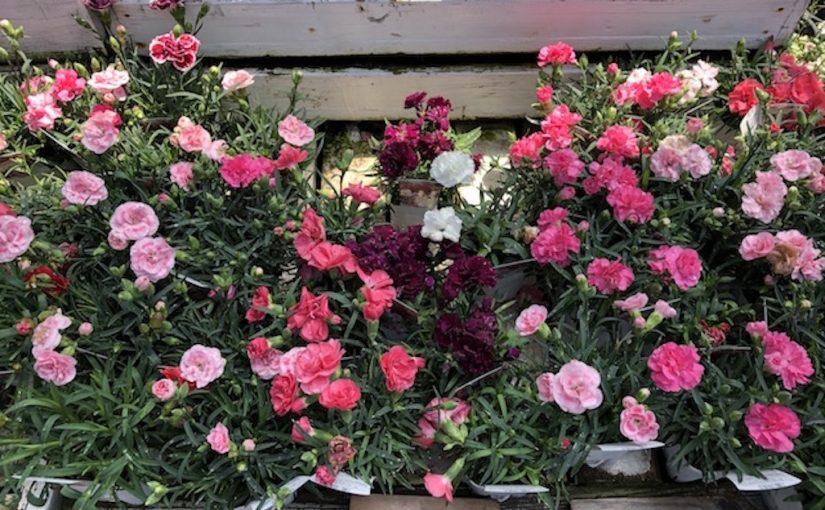 母の日のカーネーション!花の種類や色は?花束をネットで贈るには…